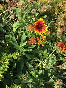 Blanket Flower - Salisbury