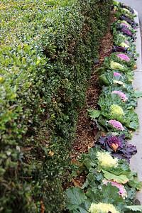 Ornamental Kale along the Sidewalk at the Back of Royal Sonesta Boston