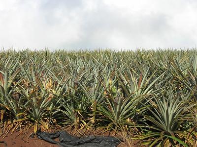 Maui 2005 001  pineapple field
