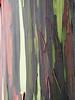 The bark of a eucalyptus.
