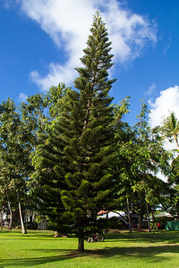 Pine trees in Hawaii? I have to admit, this caught me off-guard.