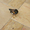 Mynah birds, like this one, pounced on any left overs, once a guest left his breakfast table.