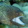 Puhi Oni'o - Whitemouth Moray Eel