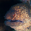 Puhi Paka - Yellowmargin Moray Eel