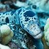 Puhi - Tiger Moray Eel