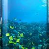Lauwiliwili - Milletseed Butterflyfish