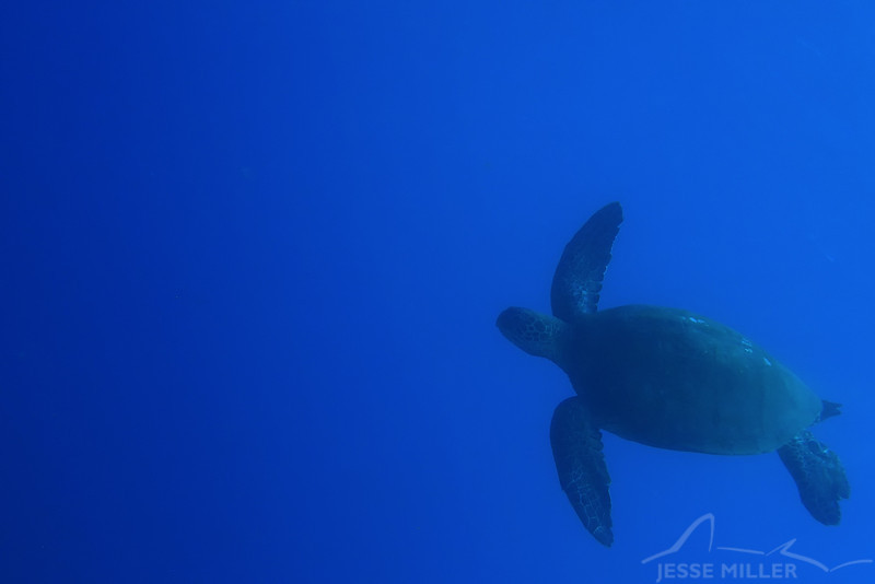 Sea Turtle (Honu)