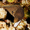 White-Mouth Moray Eel - Molokini Crater Reef's End - 3/25/13 (Dive 4)