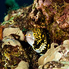 Snowflake Moray Eel - Red Rock - 3/25/13 (Dive 5)