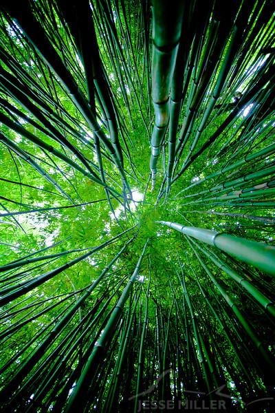 Bamboo Forest: Haleakala National Park, Maui, Hawaii - March 2013