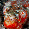 Crocodile Snake Eel - Red Rock - 3/25/13 (Dive 5)