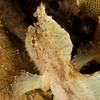 White Leaf Scorpionfish