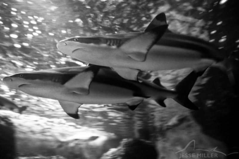 Black-tip Reef Sharks: Maui Ocean Center, Maui, Hawaii - March 2013