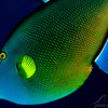 Triggerfish - Molokini Crater Reef's End - 3/25/13 (Dive 4)
