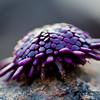 Helmet Urchin