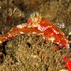 Kangaroo Nudibranch
