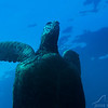 Sea Turtle (Honu) - Red Rock - 3/25/13 (Dive 5)