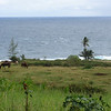 Horses grazing at a ranch near Hana.
