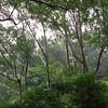 Interesting eucalyptus forest along the way to Hana.