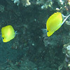 Pair of butterflyfish.