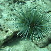 Banded Urchin.