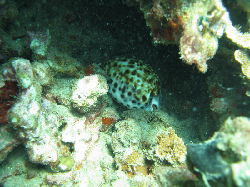 Tiger Cowrie.