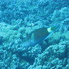 Spectacled Parrotfish.