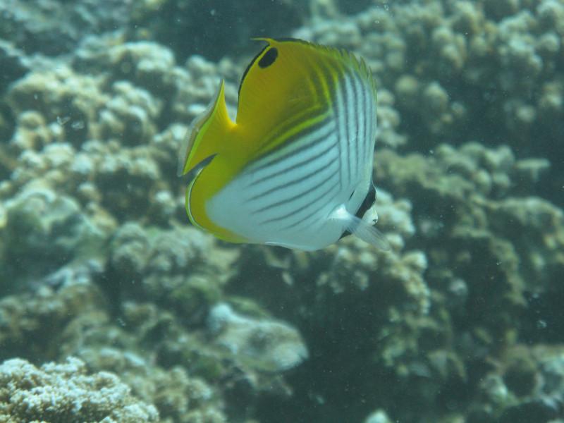 Threadfin Butterflyfish.