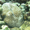 Razor coral.