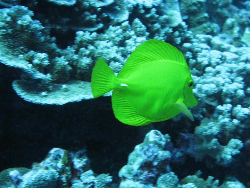 Yellow surgeonfish.