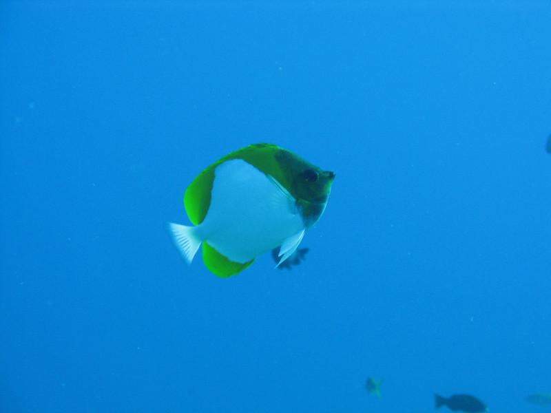 Pyramid Butterflyfish.