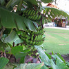 Banana tree at the hotel.