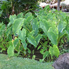 Taro plants at the hotel.