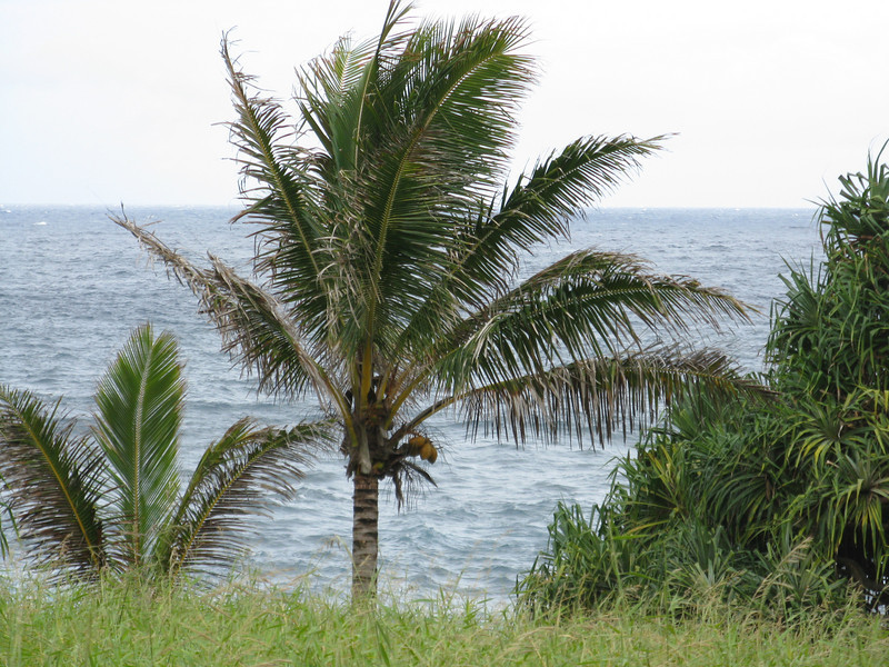 Coconut palms planted here by the Hawaiians.