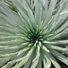 Closeup of the silversword plant.