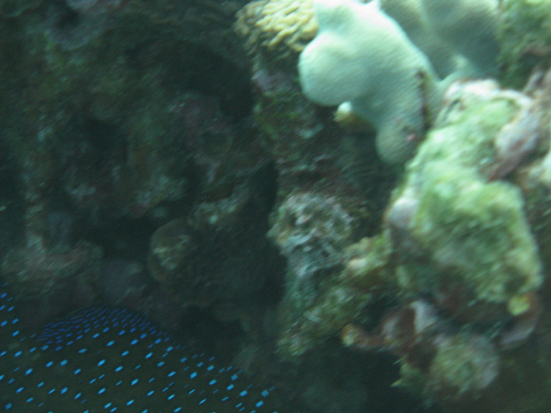 Some sort of blue spotted fish.