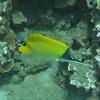 Forcepsfish.