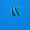 Pennant Butterflyfish.