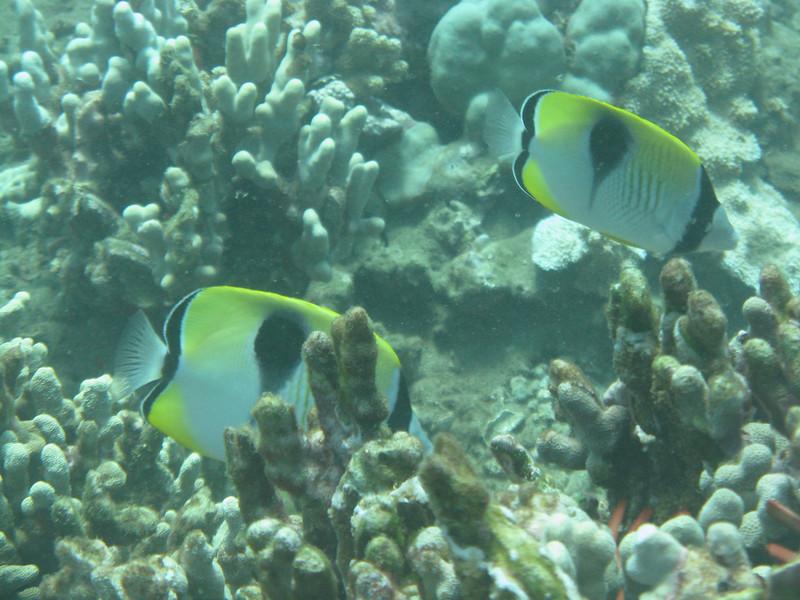 Teardrop Butterflyfish.