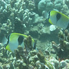 Teardrop Butterflyfish.