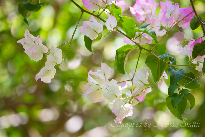 A Divine Whisper<br /> <br /> Bouganvillea in Maui
