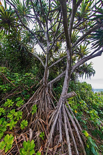 Pandanus palm tree with its multiple roots.