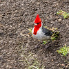 This Red Crested Cardinal was at our snack stop.