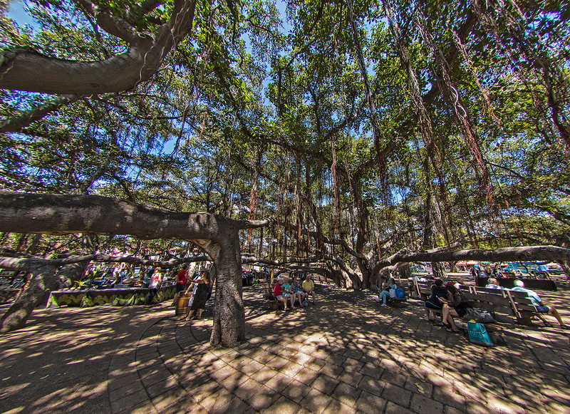In 1873, a single eight foot tall Banyan tree (a type of fig tree from India) was planted in this park in Lahina. Today it is 50 feet tall, has dropped numerous roots that became 16 additional trunks, and covers an area of about 0.7 of an acre.