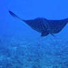 "A Spotted Eagle Ray ""flies"" by.  It is missing its long tail"