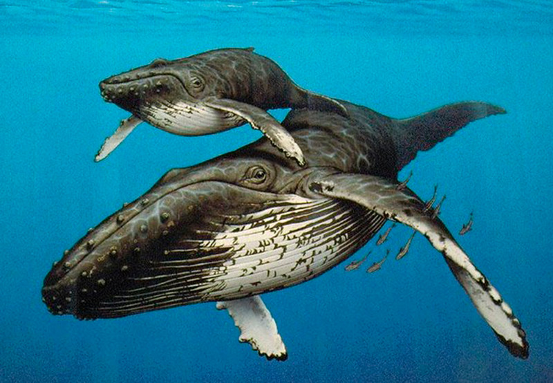 Artist's rendition of Humpback whale and her calf. The bump just forward of her eye is the blow hole.