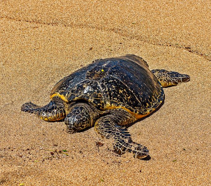 Sea turtle taking a break from swimming.