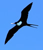 Great Frigatebird, Kauai north shore
