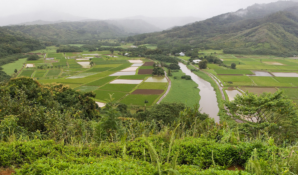 Taro fields in northren Kauai