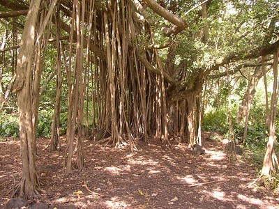 This is a banyan tree along the trail in the park at Ohe'o Gulch.  And yes, it's all one tree.  It has  numerous aerial roots that grow down from the branches and take root in the soil to form prop roots or secondary trunks.